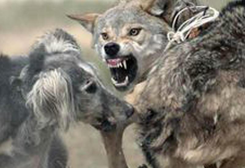 Рыбаки спасли собаку, отбив ее у волка