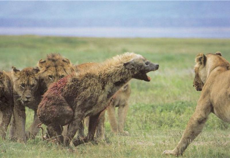 Жесткая схватка: львы против гиены