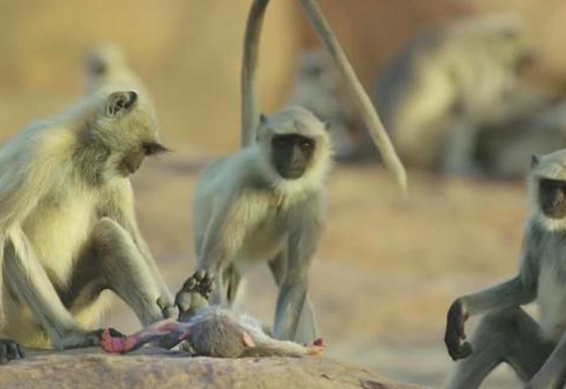 BBC показала, как обезьяны оплакивают своего мертвого сородича