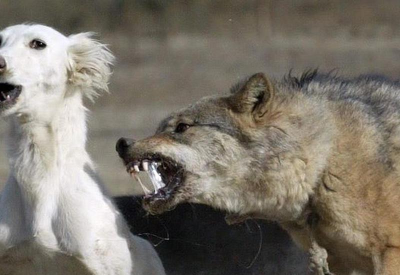 Волк утащил собаку прямо на улице