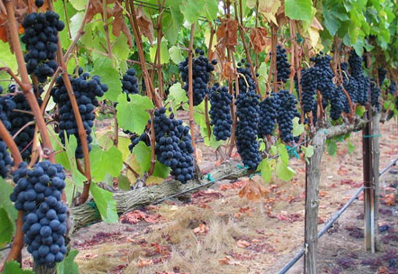 Азербайджанская винная продукция выходит на мировой рынок