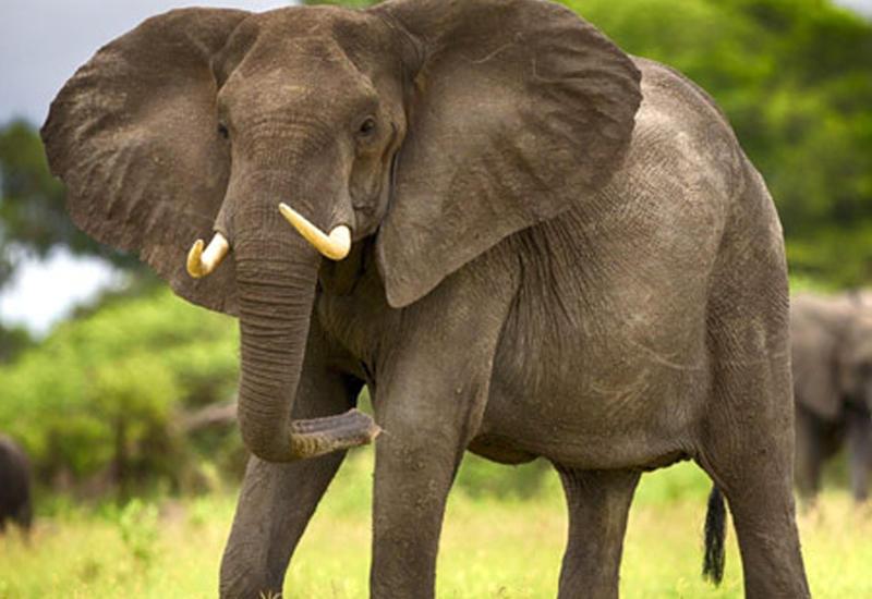 Слон атаковал туристку в Таиланде