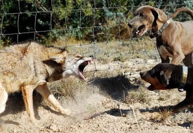 5 собак, способных убить волка