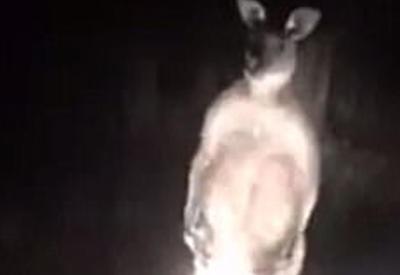 """В Австралии кенгуру атаковал автомобиль <span class=""""color_red"""">- ВИДЕО</span>"""
