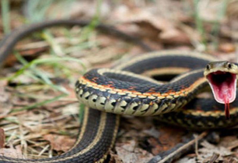 В Азербайджане увеличилось количество змей