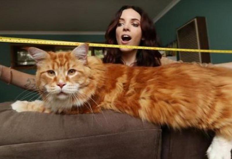 Мейн-кун Омар – самый длинный кот планеты