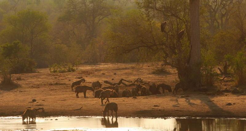 Гиены в Национальном парке Крюгера