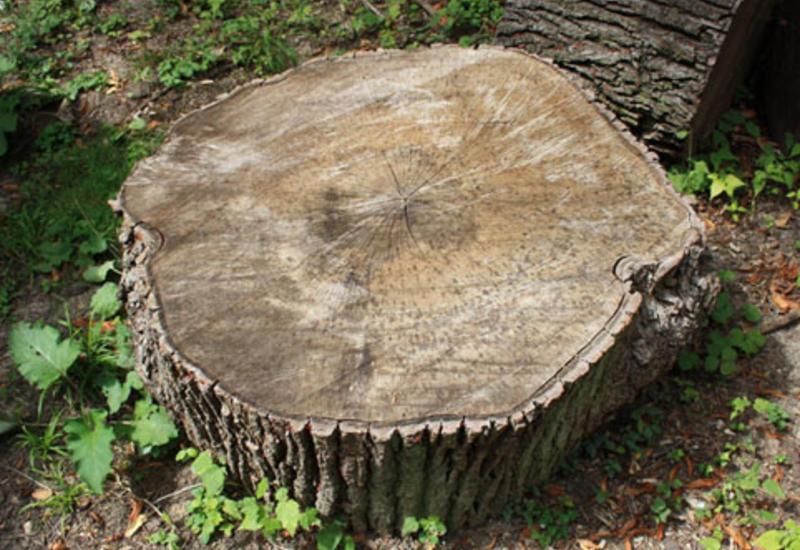 Nazirlik Binəqədidə ağacların kəsilməsi ilə bağlı məlumat yaydı
