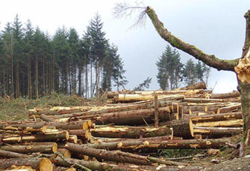 В Гахе незаконно вырубили более 100 деревьев
