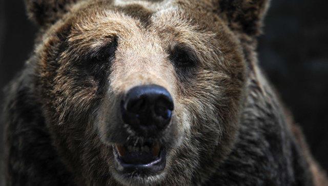 НаКамчатке полицейские убили медведя, бродившего около клиники