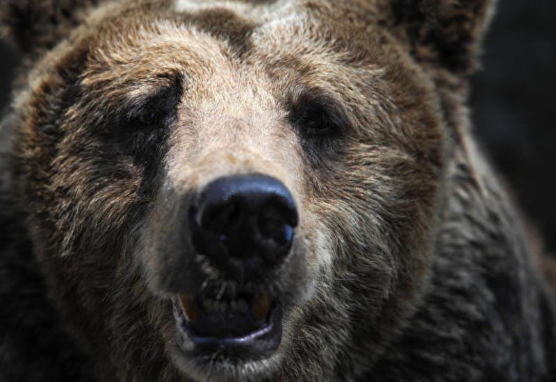 На Камчатке застрелили медведя, гулявшего на территории больницы