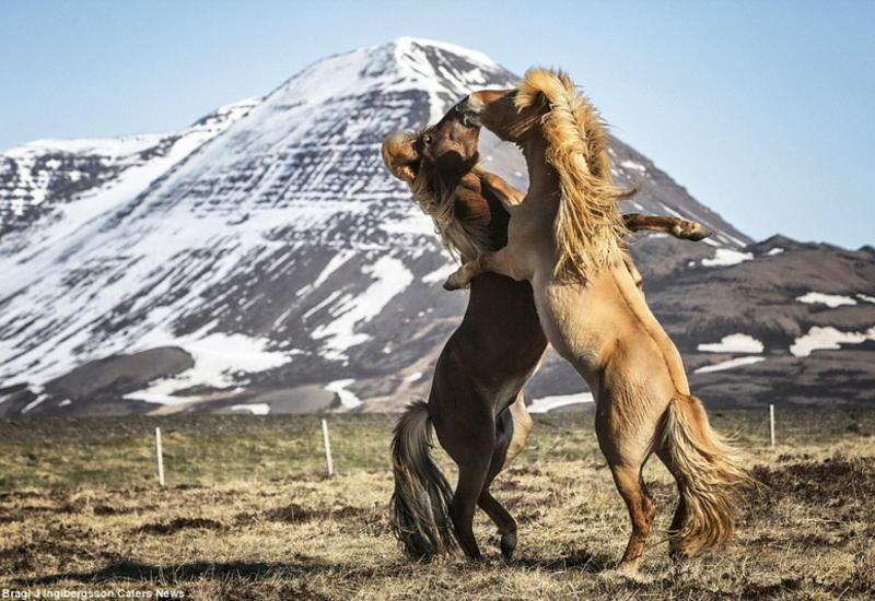 """Поймать улыбку: дикие лошади в игривом настроении на просторах Исландии <span class=""""color_red"""">- ФОТО</span>"""