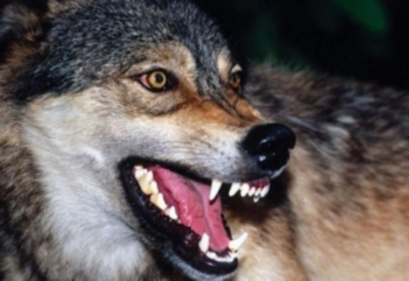В Агстафе на женщину напал волк