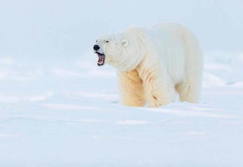 """""""Призраки Арктики"""": белые медведи, северные олени и потрясающие пейзажи полярного архипелага <span class=""""color_red"""">- ФОТО</span>"""