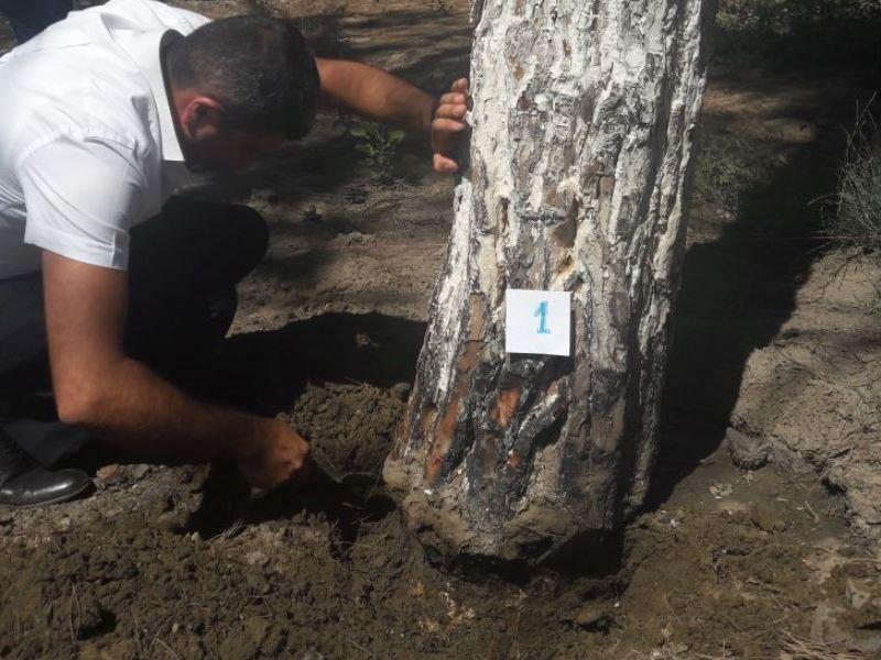 Владелец ресторана встолице Азербайджана посыпал деревья солью, чтобы их убить