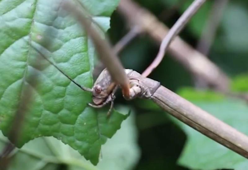 """Энтомологи показали самое длинное в мире насекомое <span class=""""color_red"""">- ВИДЕО</span>"""