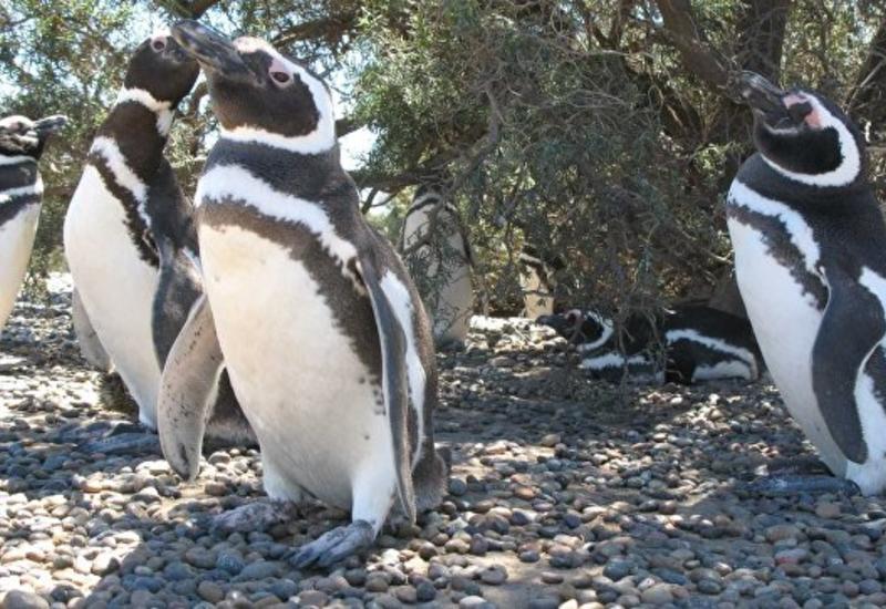 В Чили отказались добывать железную руду, чтобы защитить пингвинов