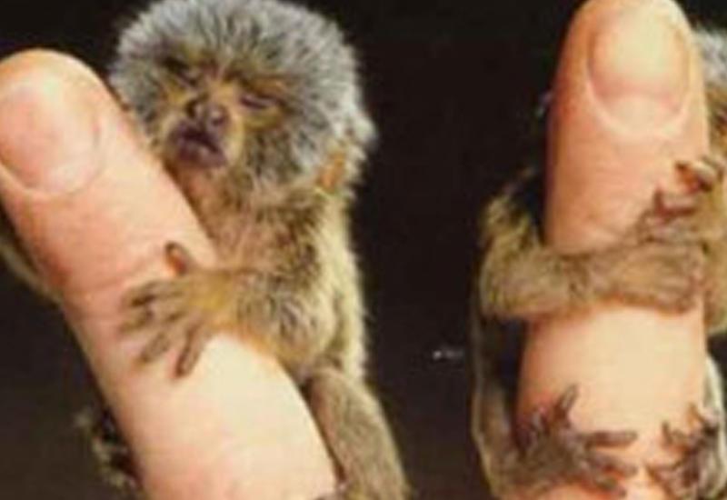 В зоопарке Великобритании родились микроскопические обезьянки