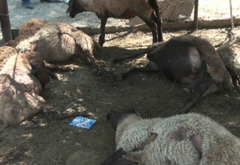 Нападение волков в Агджабеди: нанесен крупный урон сельскому хозяйству
