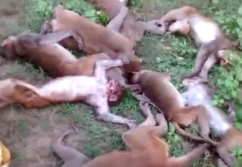 Сразу 12 обезьян погибли от разрыва сердца, испугавшись тигра