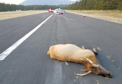 В США самолет столкнулся с двумя оленями
