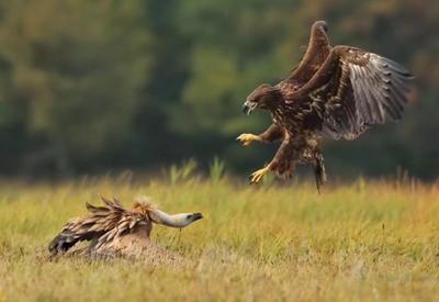 """Пять нападений орлов на животных и человека, которые попали на камеру <span class=""""color_red"""">- ФОТО</span>"""