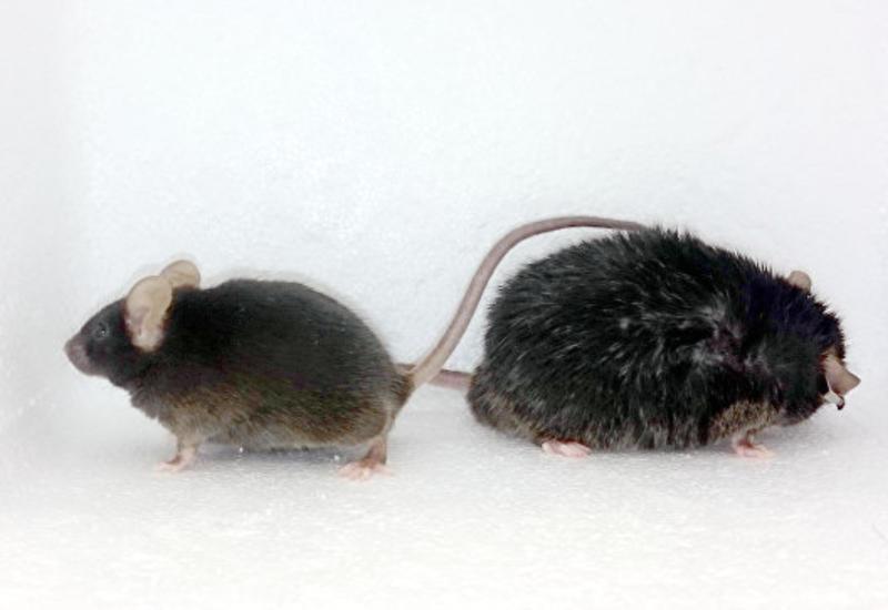 """Ученые нашли новый способ избавиться от """"плохого"""" жира"""