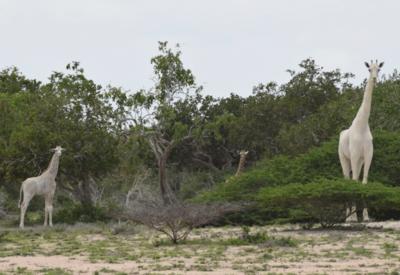 В Кении были замечены редчайшие белые жирафы