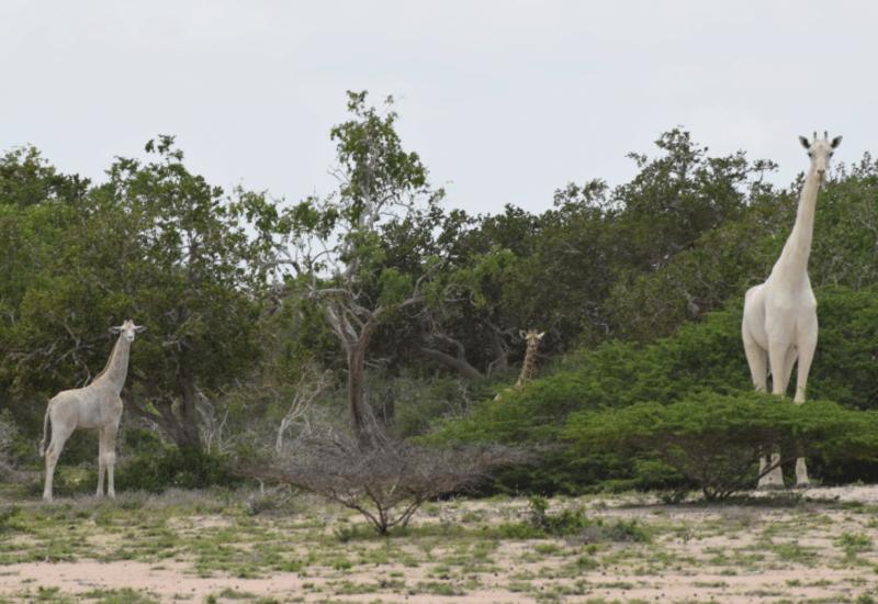 """В Кении были замечены редчайшие белые жирафы <span class=""""color_red"""">- ФОТО</span>"""