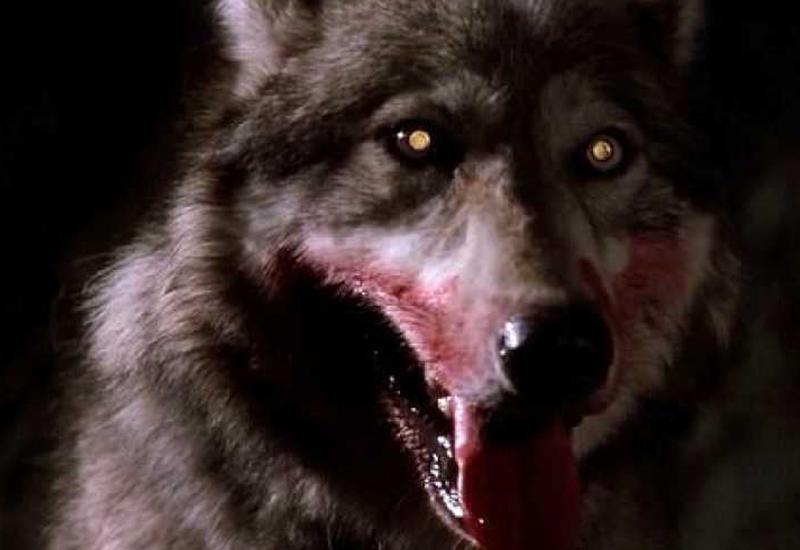 Волки загрызли британскую туристку в Греции