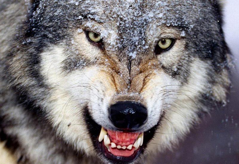 Подстреленный в степи волк набросился на охотников
