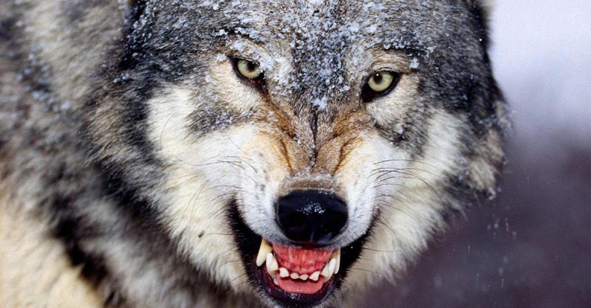 Яростная схватка вводе между волком илосем угодила вобъектив квадрокоптера