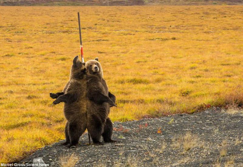 """Швейцарский фотограф поймал невероятный момент с двумя могучими медведями <span class=""""color_red"""">- ФОТО</span>"""