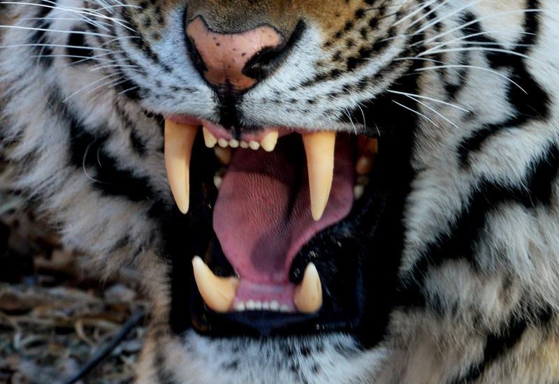 В Москве тигр напал на сотрудницу цирка