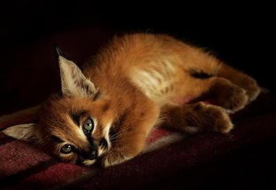 Эти редчайшие котята стоимостью 11 000 $ — наимилейшие существа в мире!
