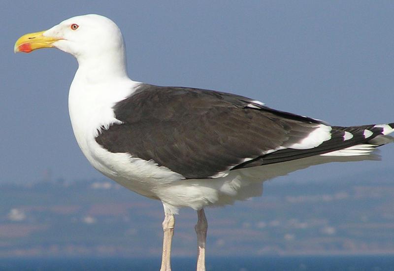 """Укравшая камеру чайка сняла свое путешествие на камеры <span class=""""color_red"""">- ВИДЕО</span>"""