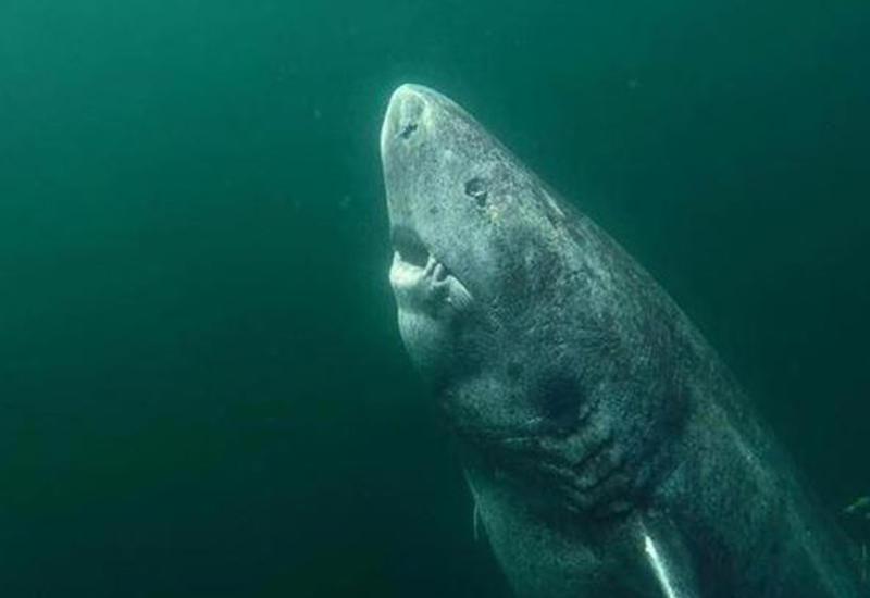 "Обнаружена акула возрастом более 500 лет <span class=""color_red"">- ВИДЕО</span>"