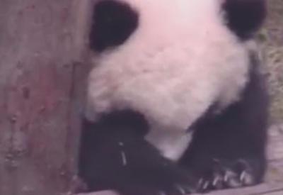 """Утомлённый детёныш панды не смог побороть сон <span class=""""color_red"""">- ВИДЕО</span>"""