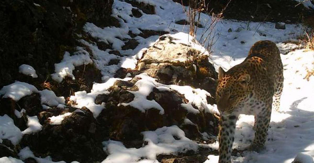 ВПриморье навидео случайно попал самый редкостный уполномоченный кошачьих