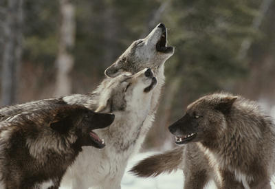 В Гахе пастух с трудом спасся от стаи волков