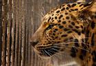 "Схватка двух леопардов попала на камеры <span class=""color_red"">- ВИДЕО</span>"