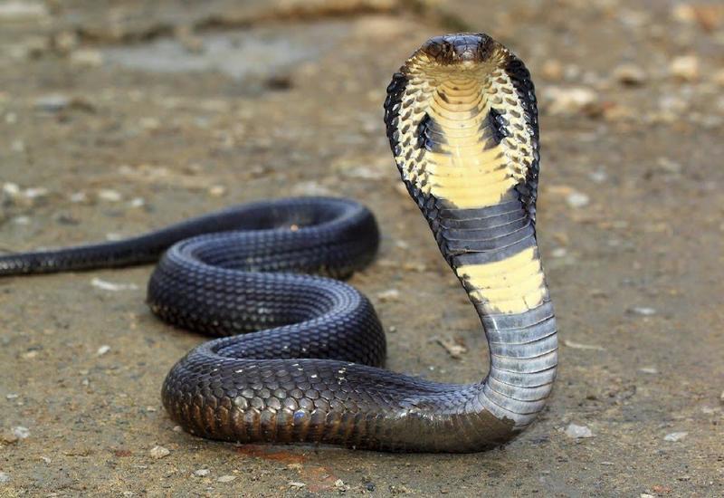 """Гигантская кобра вызвала пробку во Вьетнаме <span class=""""color_red"""">- ВИДЕО</span>"""
