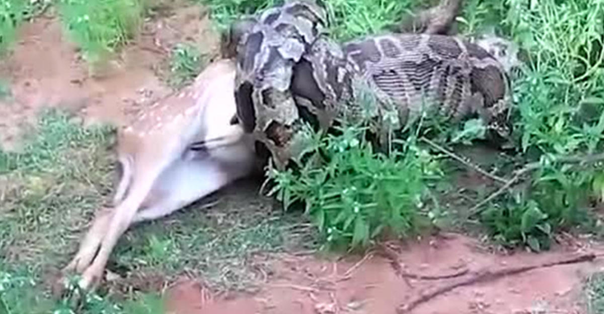 НаШри-Ланке туристы сняли навидео, как питон съел оленя