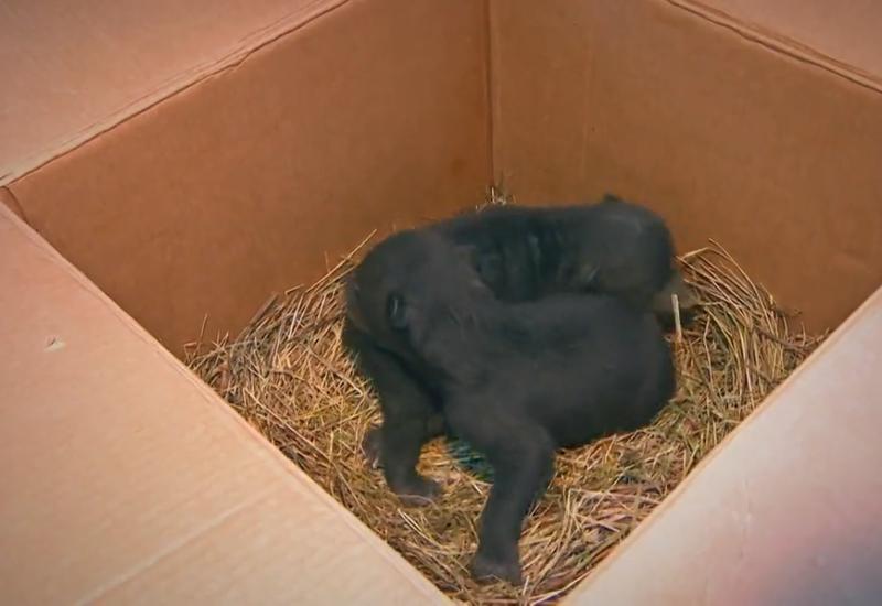 Найденных в коробке новорождённых медвежат передали в «косолапый» детский сад под Тверью