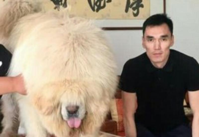 """Bakıda 250 min dollara it satılır: """"Biri villa ilə barter təklif etdi, tibetli razılaşmadı..."""""""