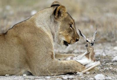 Львица воспитывает беззащитную антилопу