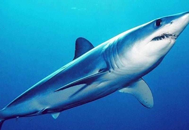 Ученые обнаружили новый вид древних акул