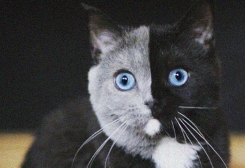Удивительная двуликая кошка Нарния покорила соцсети