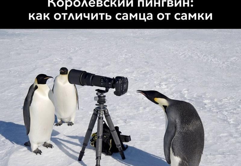 """Ученые научились различать пингвинов <span class=""""color_red"""">- ДЕТАЛИ</span>"""