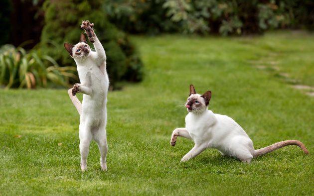 умные породы кошек: тайская
